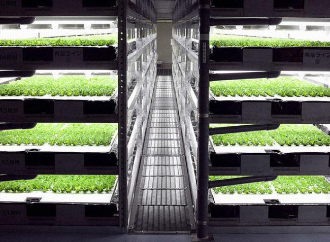 Szívesen vásárolnak gyári zöldséget a japánok – Ezen a farmon 30.000 fej saláta terem naponta! – VIDEÓ