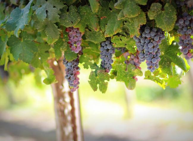 A szőlő védelme, az alma drágulásának oka, a magyar méz eltűnése a polcokról – a hét hírei