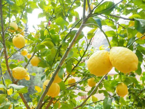 Fák együttműködése: hogyan védheti meg a tölgy a narancsot?