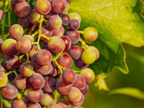 Spanyol kutatóknak sikerült felgyorsítaniuk a szőlő érését