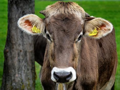 A tehenek farára festett szemek megvédik azokat a ragadozók támadásaitól