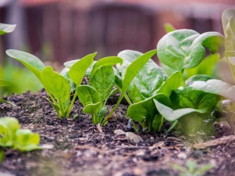 Kertben vagy kisüzemben is megéri termeszteni – ősszel is vethető a spenót
