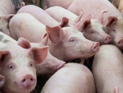 Vészesen fogy a hazai sertés – újabb mélyponton az állomány