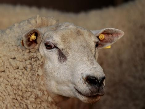 Mit tud az a bárány, amiért 145 millió forintot fizettek ki?
