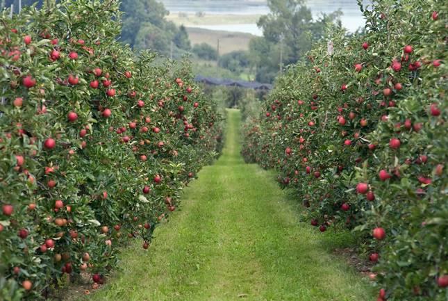 alma ültetvény