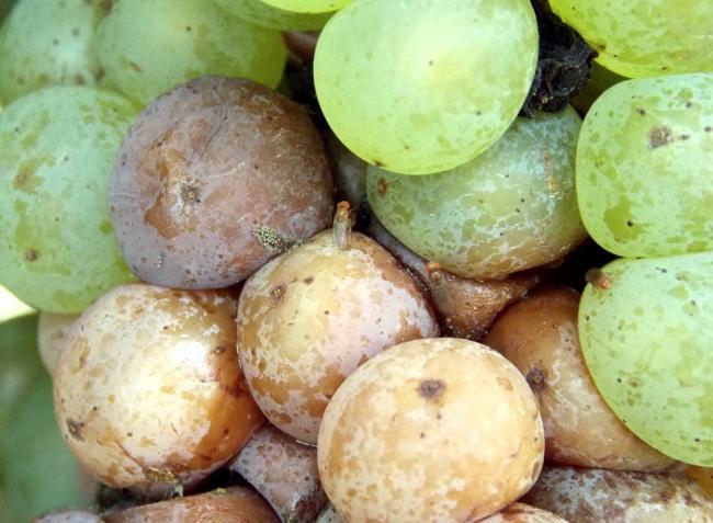 Növényvédelmi előrejelzés: a pettyesszárnyú muslica az érő szőlőt fenyegeti
