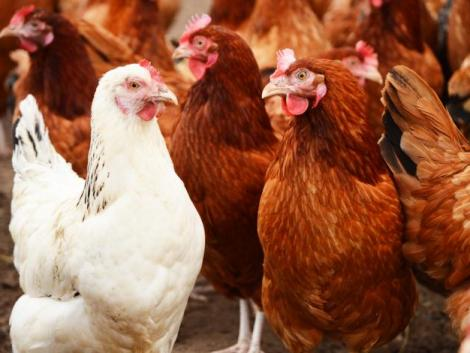 Újra madárinfluenzától mentes Magyarország