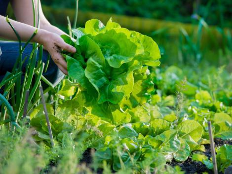 Mi okozza a rendellenes fejlődést a zöldségekben?