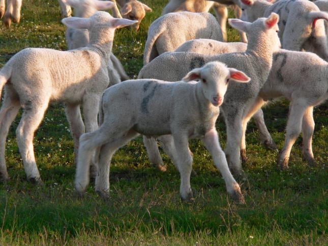 bárány bárányárak