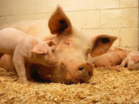 Elkerülhetetlen-e a katasztrófa a hazai húspiacon a német sertéspestis miatt?