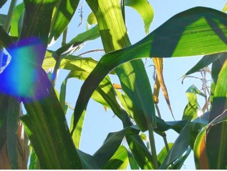 Martonvásári Kukorica Bemutató – megújult portfólióval! – VIDEÓ