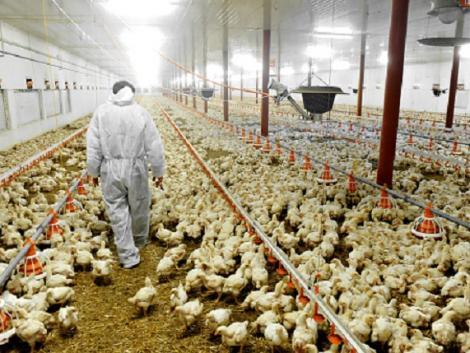 Több százezer csirkét kell levágni a koronavírus-járvány miatt Nagy-Britanniában