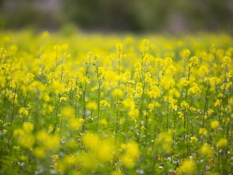 Minden, amit tudni kell a repce termesztéséről és védelméről