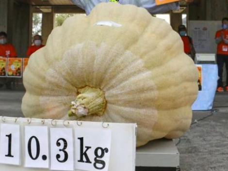 Japán legnagyobb töke több mint 400 kilót nyom