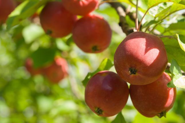 almatermés alma ára gyümölcsárak