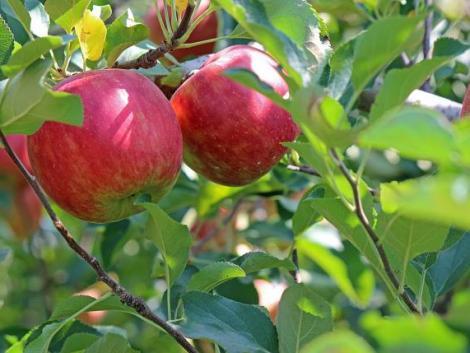 Alkalmazkodó almák