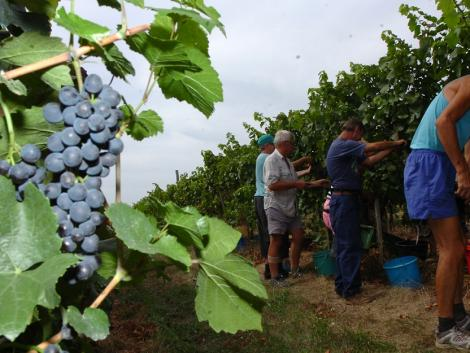 Szépen mutatkozik a kékoportó, szedik a szőlőt Villányban – KÉPEK