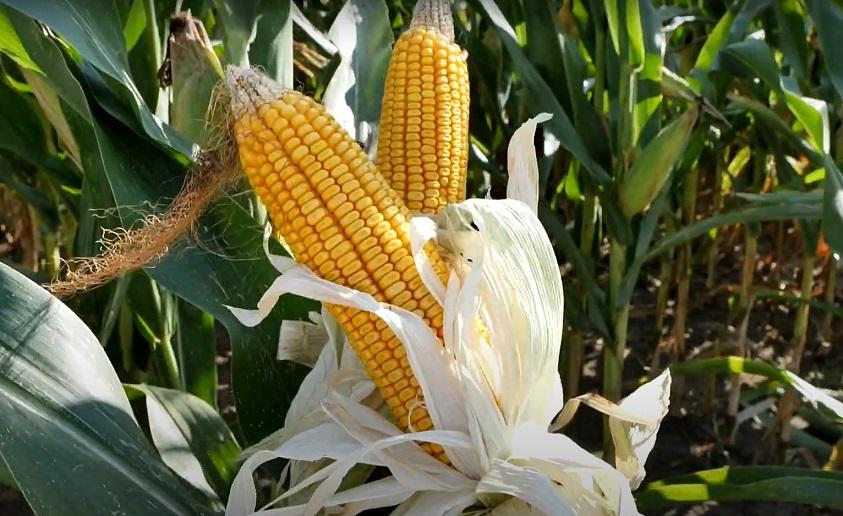 Ez a kukoricahibrid rekordtermésre képes