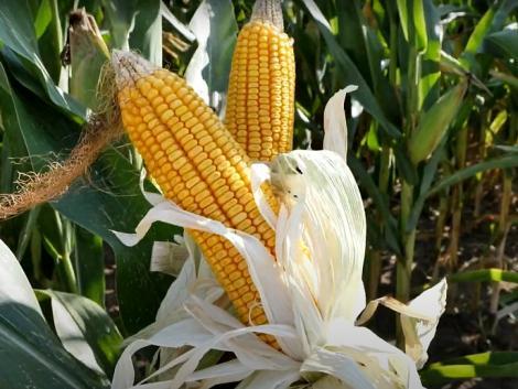 Szép kukoricacsövek, nagy terméspotenciál – kompromisszumok nélkül! – VIDEÓ