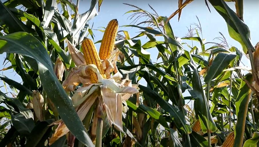 duplacsövű kukorica
