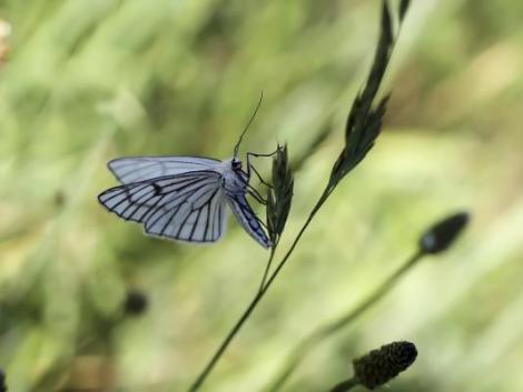 Új biopeszticidek nyújthatnak védelmet a fehérlepkék ellen