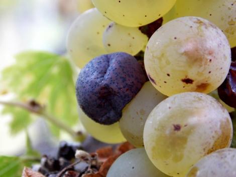 Növényvédelmi előrejelzés: Segítsünk a szőlőnek, diónak, repcének, amíg lehet
