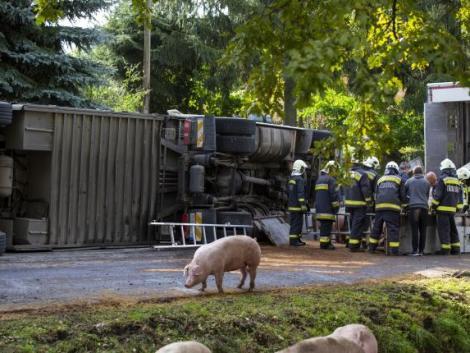 Felborult egy kétszáz sertést szállító kamion – KÉPEK ERŐS IDEGZETŰEKNEK!