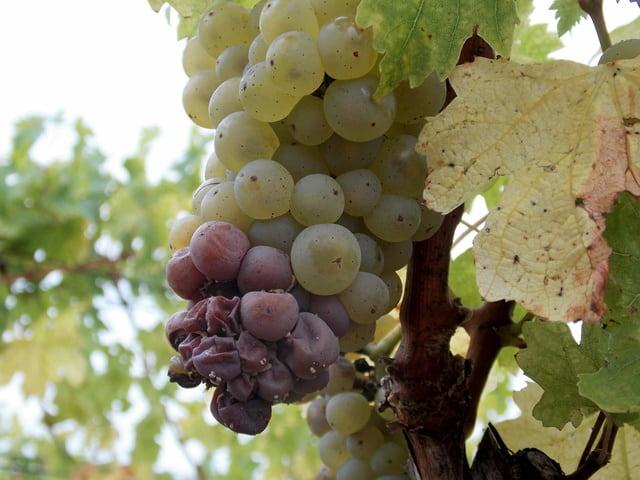 szőlő szürkepenészes rothadás