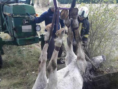 A tűzoltóknak kellett kimenteni Zafírt, a pórul járt lovat