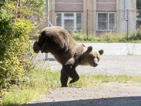 Medve garázdálkodik Miskolcon