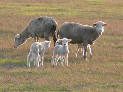 Több mint 40 bárányt és malacot lopott egy bűnbanda a járvány alatt