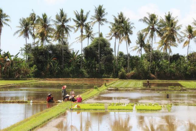 Ráktenyésztés Kínában rizsföldön