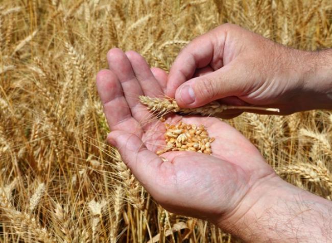 Örülhetnek a gazdák! A búza és a kukorica ára folyamatosan emelkedik!