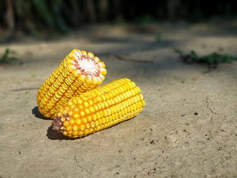 Lehet még jövedelmezőbb a kukoricatermesztés?