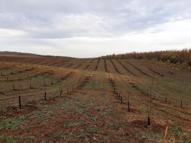 Frissen telepített kajszibarack ültetvény