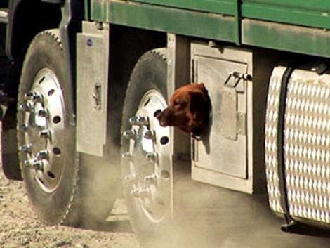A hűséges terelőkutyák még a kamionok aljában is hajlandók utazni