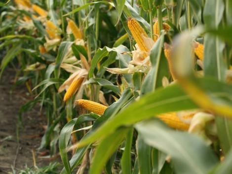 Színre lépnek a DEKALB DKC4943 kukorica hibrid utódai