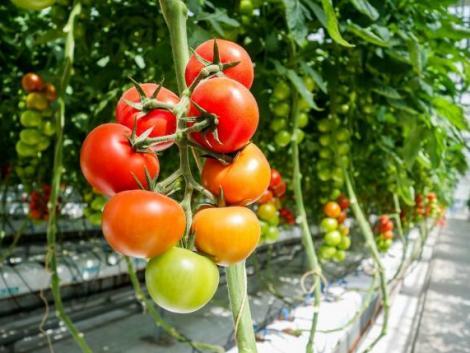 Egy teljesen újszerű üvegházi termesztési mód, a fitopónika