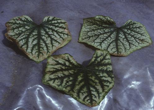 Káliumhiány tünete uborka levelén