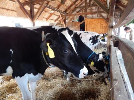 Hínárt keverve a tehenek takarmányába csökkenthető a metánkibocsátás