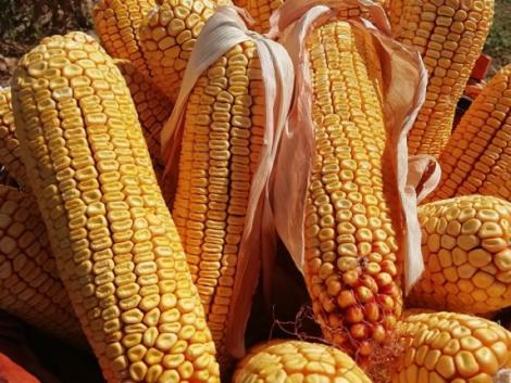 Az idén megérte kukoricát vetni Békésben: rekord termésátlag, jó minőség