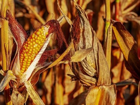 Ezért emelkedik a kukorica ára