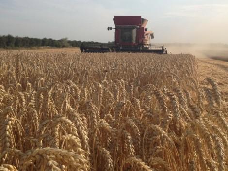 Búzahibridek 8-12 tonna/hektáros terméseredményei