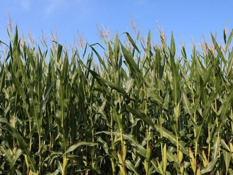 Argentína kukoricából és szójából rekordmennyiségű termést vár