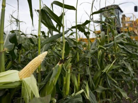 Tudtad? Magyarország Európa legnagyobb csemegekukorica-termesztője
