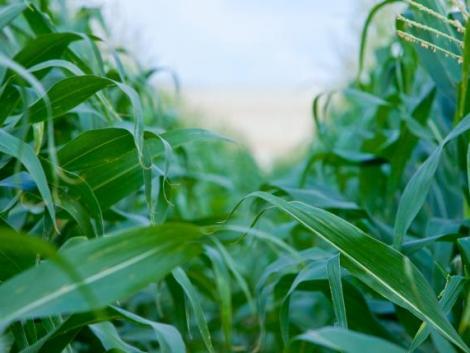 2021-ben érkezik a Bayer új LAUDIS SMART kukorica technológiai csomagja