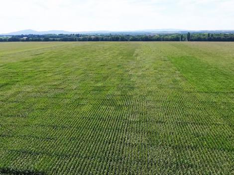 Új kukoricáink otthon érzik magukat Magyarországon