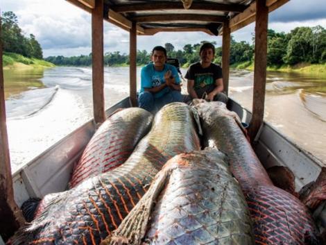 Láttál már 200 kg-os édesvízi halat?