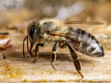 Már kimutatható a mézben lévő rovarirtó szer!