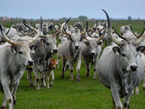 Téli szállásukra indultak a legelő állatok a Hortobágyon